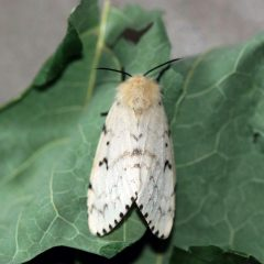 High gypsy moth populations in Dundas Seeing more of them around? Here's what you need to know